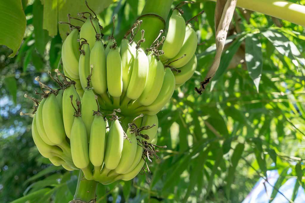 פסטיבל הבננה