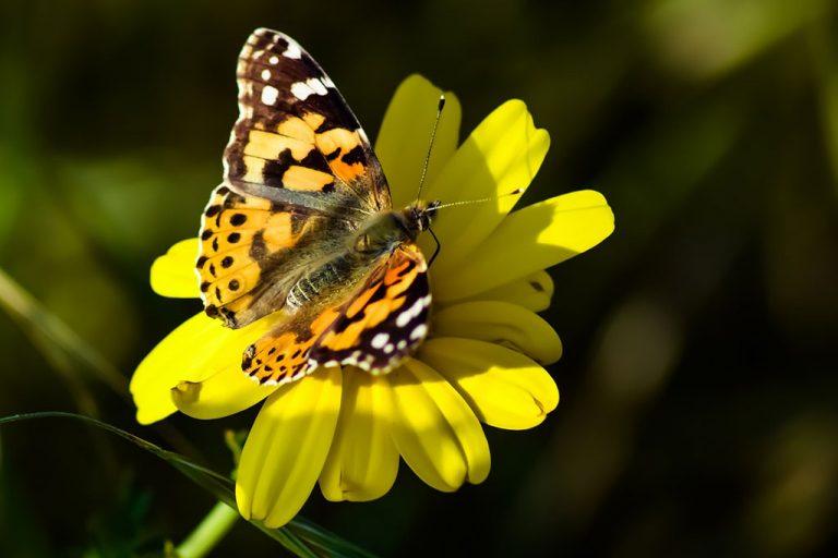 פרפרים של אביב ושמחה