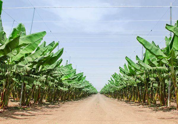 למה דווקא בננה? על גידולים ופסטיבלים בעמק הירדן